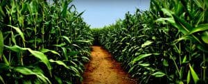 Adventures In Corn Mazes